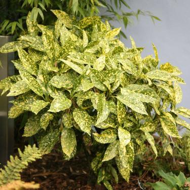 Aucuba japonica CROTONIFOLIA Japán babérsom
