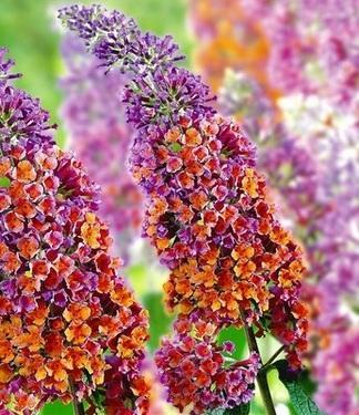 Buddleia x weyeriana FLOWER POWER
