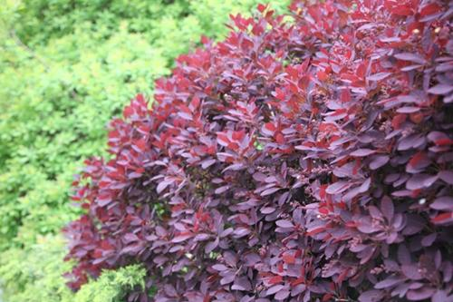 Cotinus coggygria Royal Purple - Bíbor cserszömörce