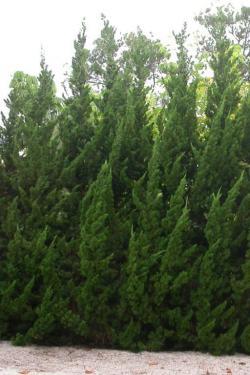 Juniperus chinensis KETELEERI