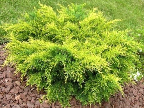 Juniperus x. media old gold