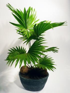 Legyezőpálma Livingstonia rotundifolia