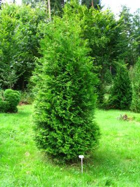 Thuja occidentalis Brabant 20/40 cm